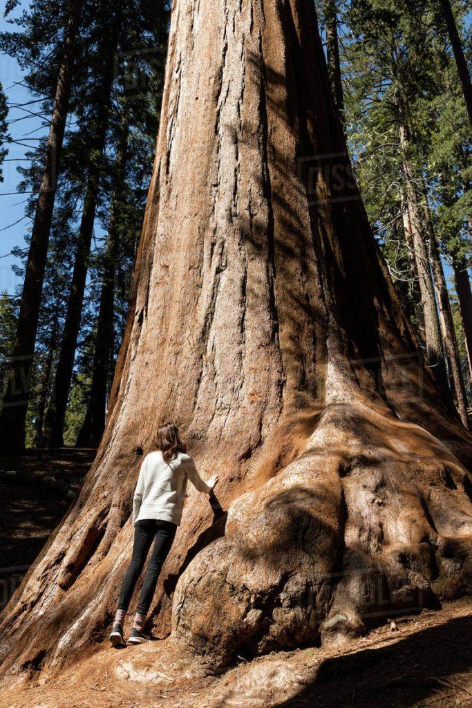 big tree logs