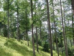 Larch pine in northeast China