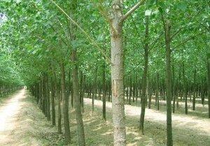 poplar forest for veneers